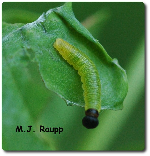 Young silver spotted skipper larvae hide in rolled margins of leaves.