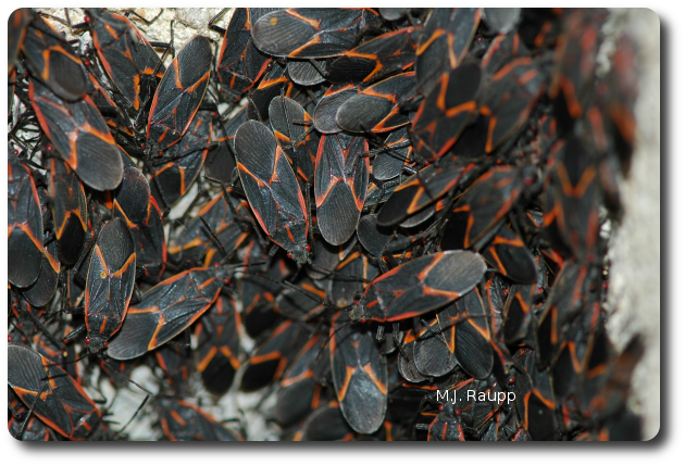 Boxelder bugs sometimes aggregate by the hundreds on people's homes.