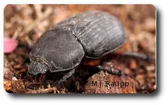 Even with a smudge of dirt on her face this female rhinoceros beetle is still a beauty.