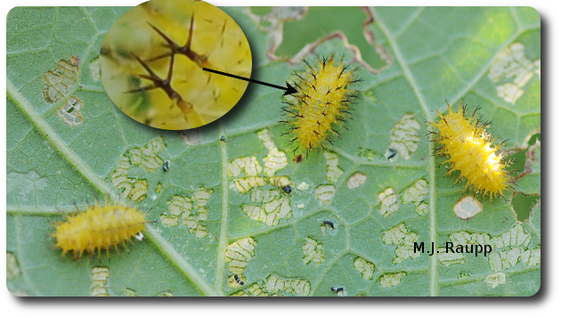 Bean beetle larvae feed between the lines and skeletonize bean leaves.