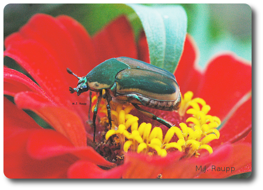 Green June beetles are sometimes found on flowers and fruit.