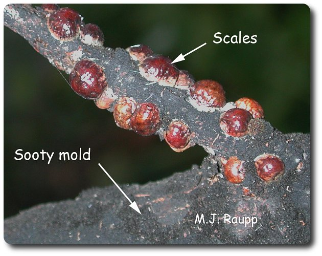 Sooty mold growing on honeydew produced by scale insects change the color of this branch from brown to black.
