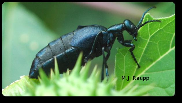 Large blister beetles in the genus Meloe, sometimes called oil beetles, find noxious Jimson weed a tasty treat.