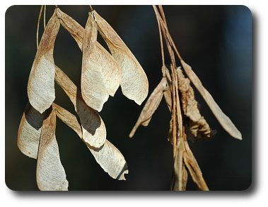 The seeds of boxelder are one of the favorite foods of boxelder bugs.