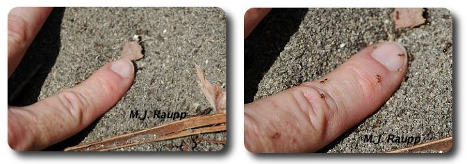 Within seconds of poking a finger into a fire ant nest workers attack with jaws and stingers.