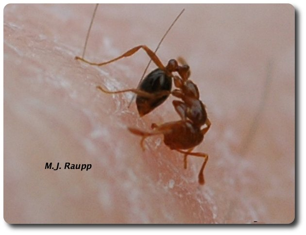 The fire ant anchors itself with its jaws then curls its abdomen beneath to inject its venom into the skin.