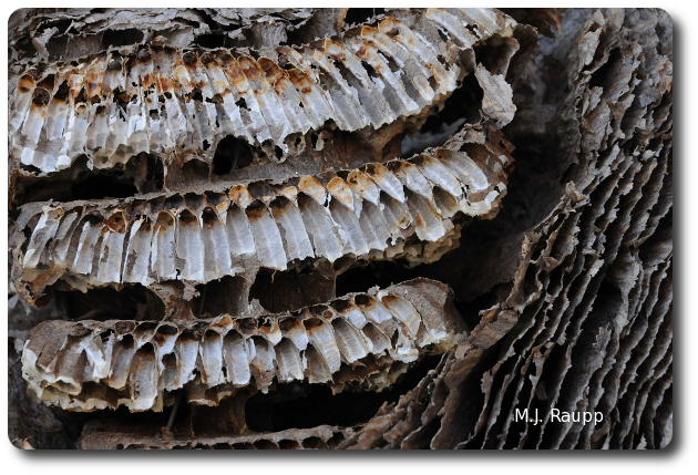 Elongate brood cells are enclosed by layers of paper covering the nest.