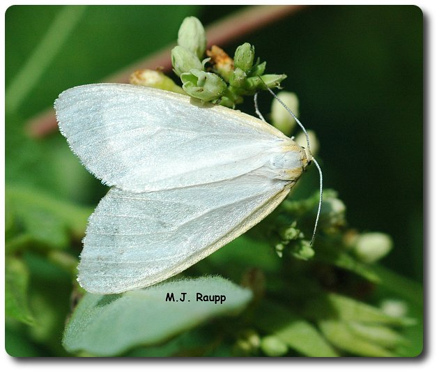 Don't let the white coloration fool you. This dogbane tiger moth is dangerous.