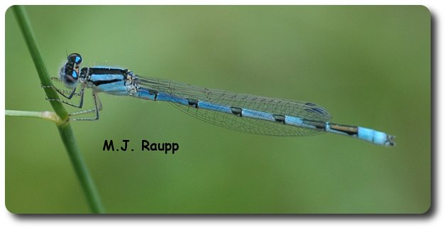 Abs of steel and wiry legs allow this acrobatic familiar bluet to hang out on a stem.