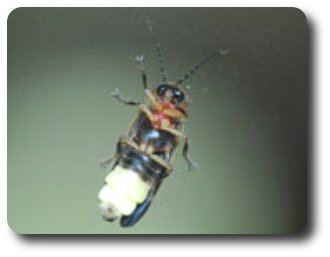 The lightning bug's light organ is at the tip of the abdomen.