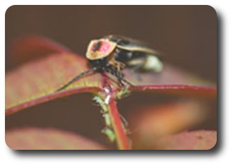 Lightning bug on the hunt for prey -- aphids beware.