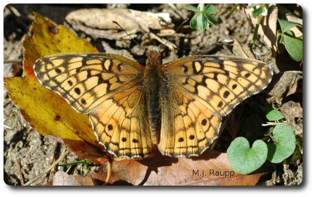 Basking in the late autumn sun warms the variegated fritillary's muscles prior to flight.