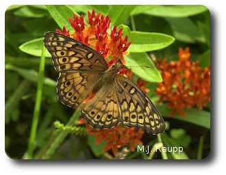Milkweeds are a favored source for nectar and pollen.