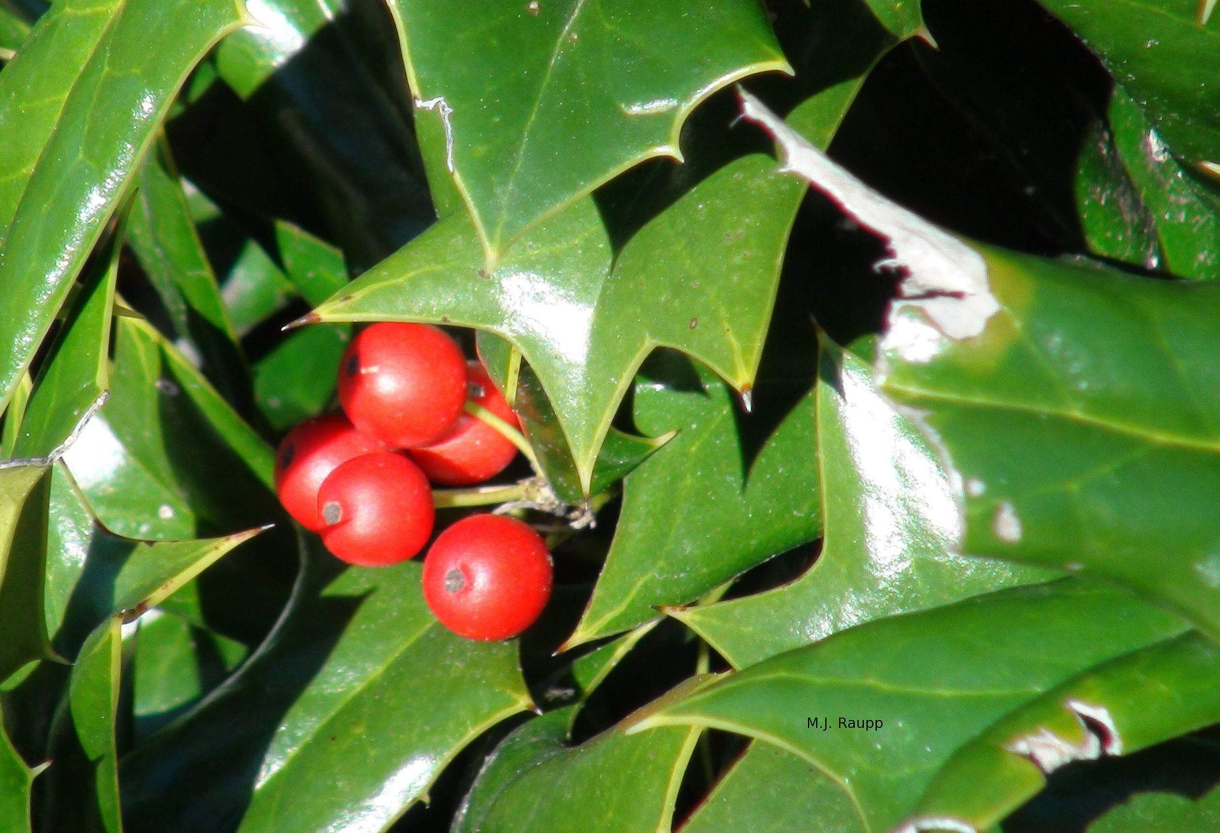 Beneath the hollies' leaves are decorative surprises.