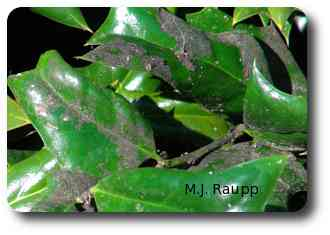 Honeydew produced by the scales forms a substrate for sooty mold fungus that cloaks the leaves.
