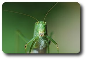 "Notice the small, dark opening on the front legs of this little beauty - the ""ears"" of the katydid."