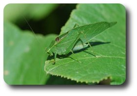 The wings of this male bush katydid have veins like a leaf, helping it blend with the vegetation.