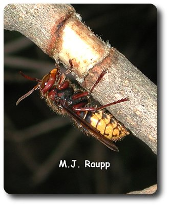 A lilac in my backyard loses some bark to a hungry European hornet.