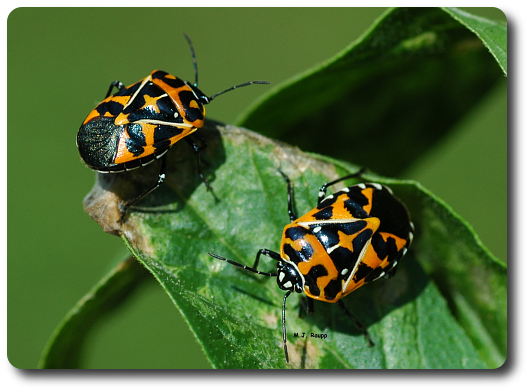 """Two brightly colored harlequin bugs warn predators of their nasty flavor and send the message """"don't eat me""""."""
