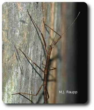 A northern walking stick busts a pose on a tree trunk.