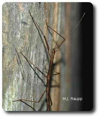 twiggy  walking sticks phasmatidae — bug of the week