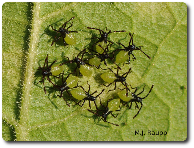 Squash bug nymphs huddle just after hatching from their eggs.