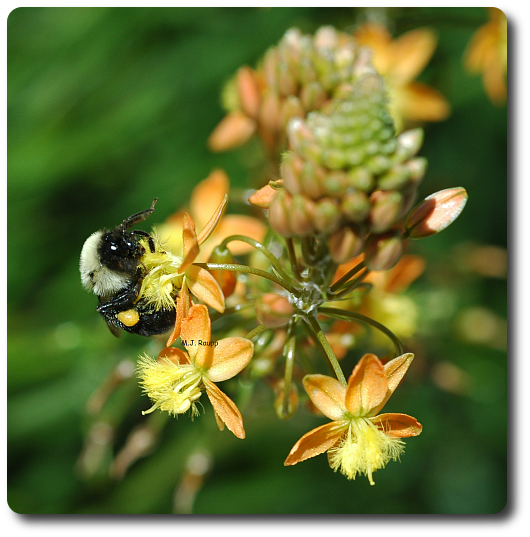 This little bumble bee has a nice collection of pollen on her hind leg.