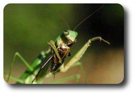 Manti devours the head of a fall field cricket