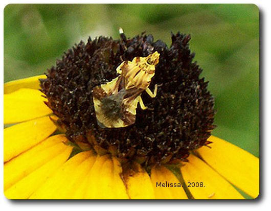 An ambush bug is not too cryptic on a brown flower head.