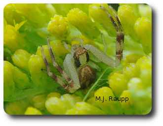 With legs outstretched a stealthy crab spider waits for the kill.