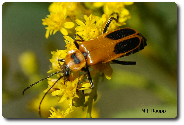 The goldenrod leather wing, Chauliognathus pennsylvanicus, is a frequent visitor to goldenrod in late summer and autumn.