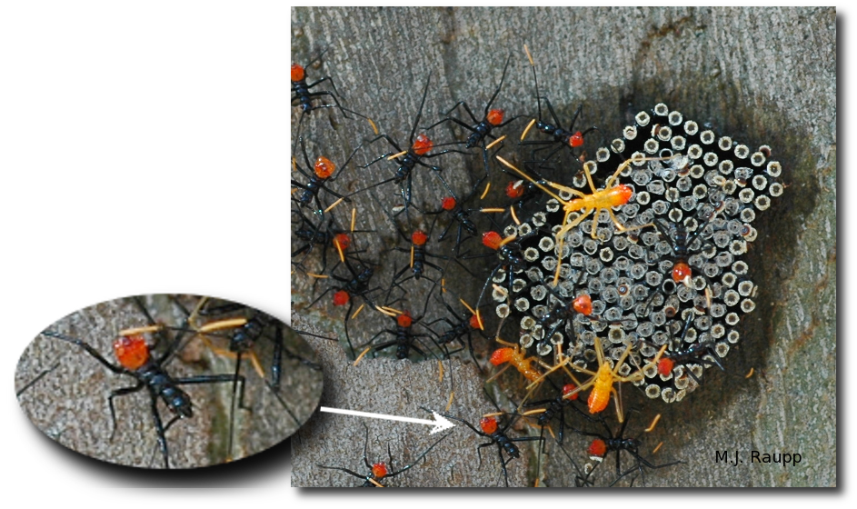 Gorgeous wheel bug nymphs cluster near eggs from which they hatched before venturing off to find their prey.