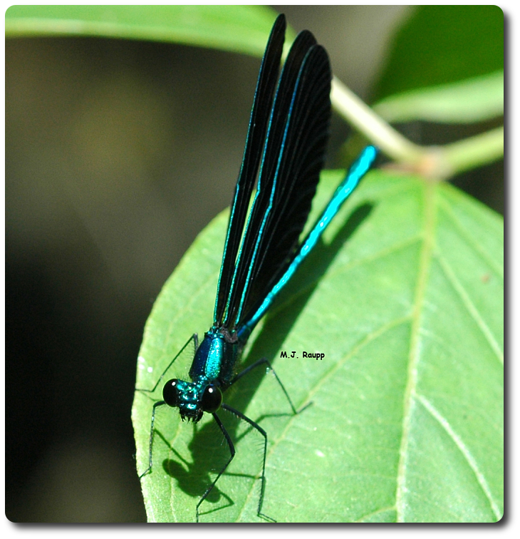 The gorgeous ebony jewelwing is often found near small streams.