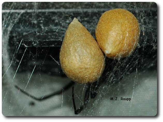 Our black widow, Angelina, recently presented us with two fine egg sacs. We are anxiously awaiting the birth of many tiny widows.