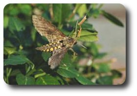 The hawk moth uses plant odors to locate plants like tomatoes to serve as food for her young.