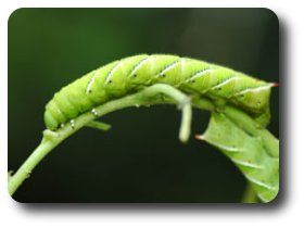 These hornworm caterpillars have all but devoured this tomato plant.