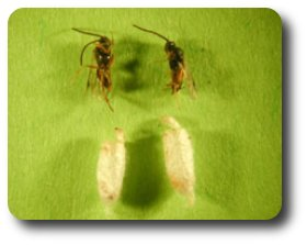 After completing development, the wasps pop the top of their cocoons and emerge to seek other victims.