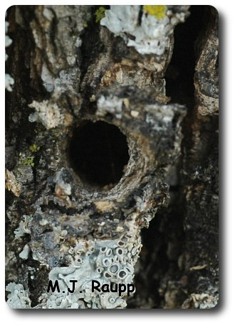 A round or oval exit hole is a sign that clearwing borers not emerald ash borer are in your tree.
