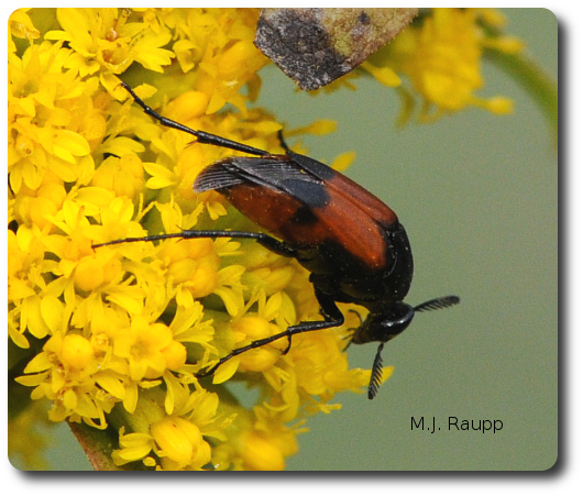 This wedge-shaped beetle will leave a deadly surprise behind in the blossoms.