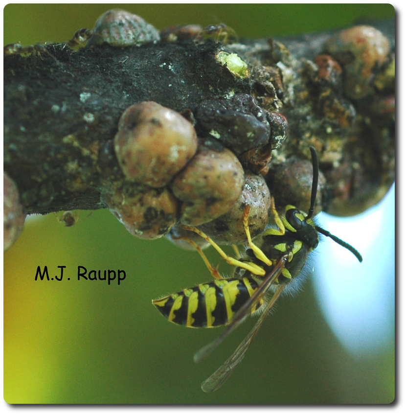 In the wild yellow jackets obtain sweets from the honeydew of scale insects.