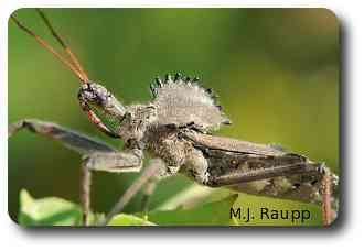 Only Mother Nature and the wheel bug know the function of the wheel.