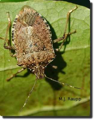 White bands on antennae, legs, and abdomen are characteristic for brown marmorated stink bug.