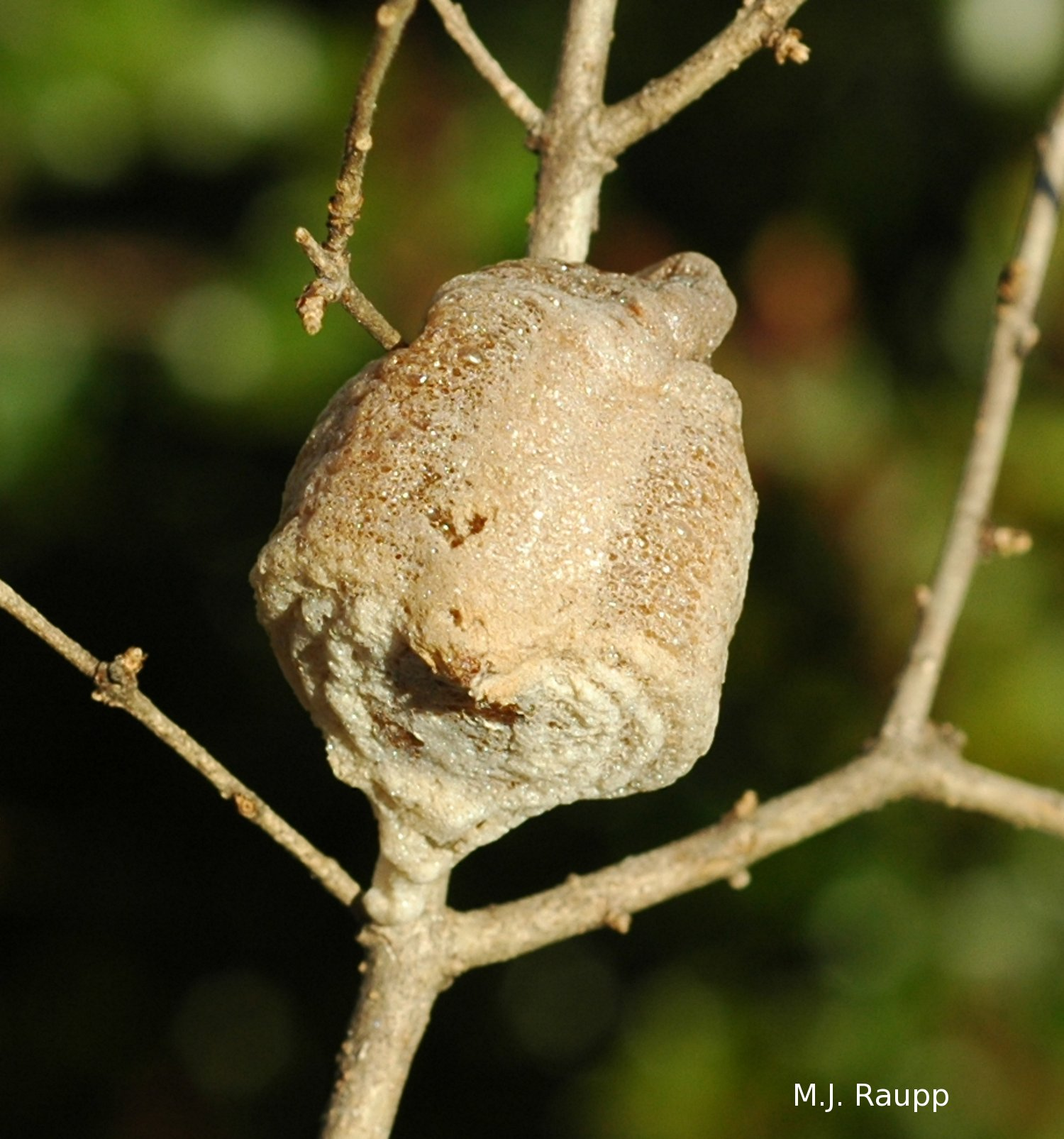 Protein from the stink bug will turn into hundreds of mantis eggs that pass the wicked winter inside the ootheca.