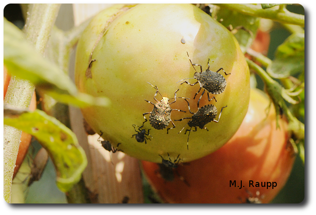 Tomato is on the menu for this band of stink bugs.