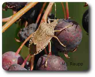 Ornamental plants like service berry attract the brown marmorated stink bug.