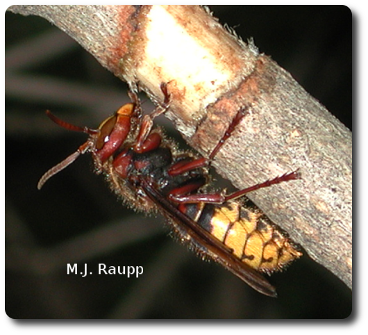 European hornets strip bark from trees to make paper for their nests.