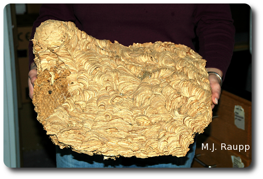 This spectacular European hornet nest was discovered during a home renovation.