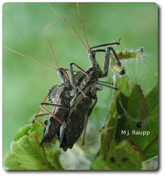 Want to know more about wheel bugs?