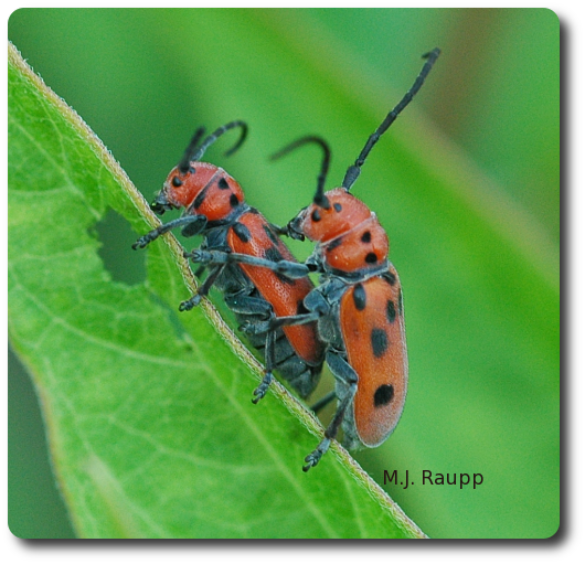 Want to know more about milkweed longhorned beetles?