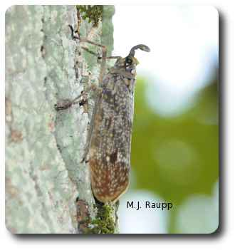 Once thought to glow like fireflies, lanternflies really do not.